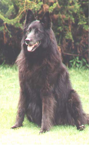 Groenendael (Belgian Shepherd), exceptional female, 7 years old Photo courtesy Thomas Ulber ©