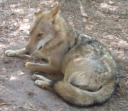 A wolf x dingo hybrid. Note the long muzzle, flat forehead, bare ears, and the dark stripe on the foreleg Photo courtesy Peter Musiol ©