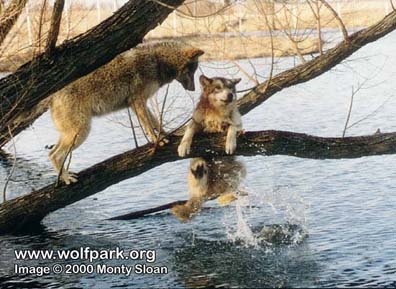 Marion watches Erin fall into the pond at Wolf Park Copyright Monty Sloan / Wolf Park