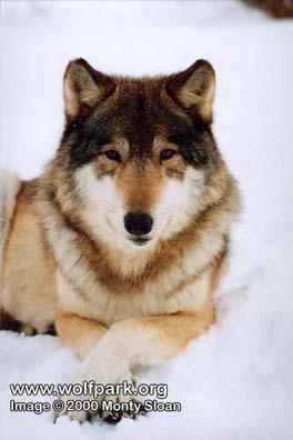 Alyeska Copyright Monty Sloan / Wolf Park