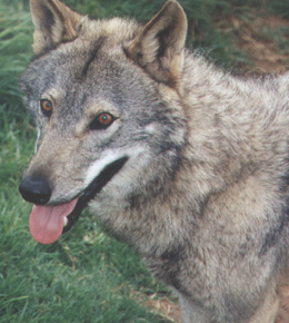European Wolf (Canis lupus lupus), female Photo courtesy Monika Kubierske ©