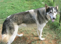 Unspecified wolf x Siberian Husky wolfdog This is the right side of the same animal shown in the previous photo Photo courtesy of G ©